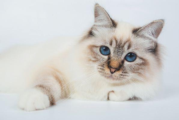 6 flauschige Katzenrassen zum Überkochen