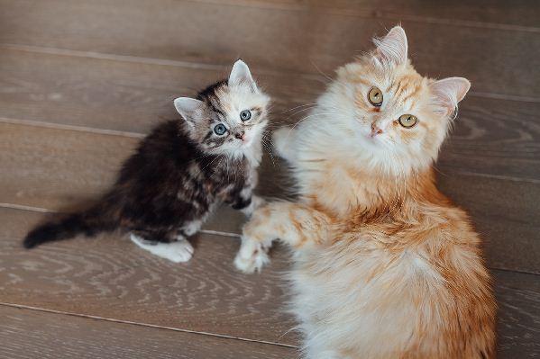 Kätzchen: wann erreichen Katzen ihre volle Größe?