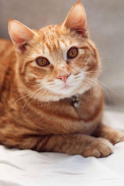 Warum haben Katzen Probleme beim Abnehmen?